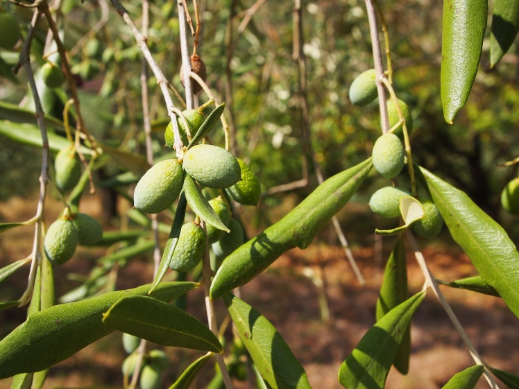 These olives will be ready for harvest in October. Then, they'll be used to make olive oil.