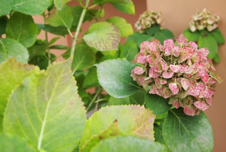 Looks like they have hydrangea's in Italy, too.