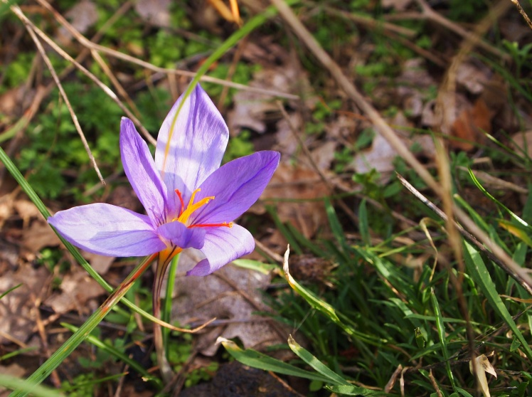Wild saffron flowers! We saw some apple and walnut trees too.